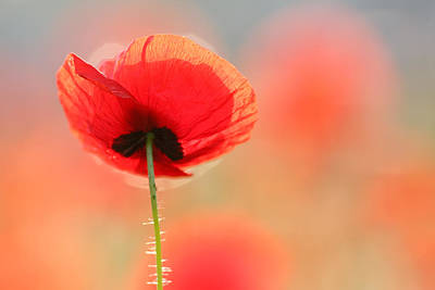Red Poppies Photograph - Poppy Dream by Roeselien Raimond