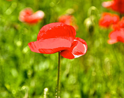 Photograph - Poppy Dreams by Kathi Isserman