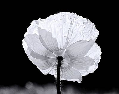 Photograph - Poppy by Elizabeth Budd