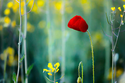 Rapeseed Photograph - Poppy by Evgeni Dinev