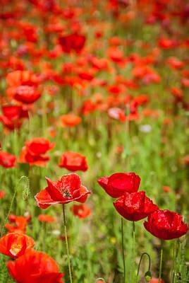 Photograph - Poppy Field   by Alex Grichenko