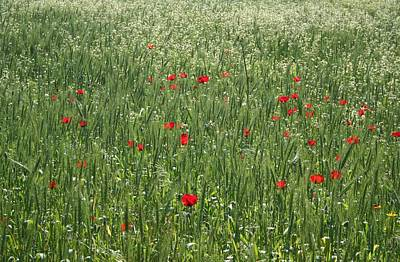 Photograph - Poppy Field And Springtime Hay Meadow  by Tracey Harrington-Simpson