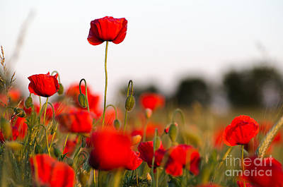 Photograph - Poppy Field Closeup  by Kennerth and Birgitta Kullman