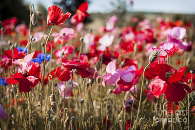 Cornflower Photograph - Poppy Field by Elena Elisseeva
