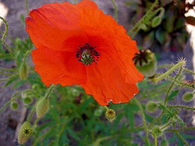 Photograph - Poppy Flower by Dragan Kudjerski