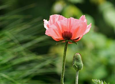 Red Roses - Poppy Flower by Karen Adams