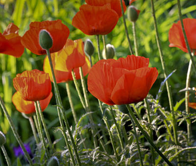 Art Print featuring the photograph Poppy Flower by Nick Mares