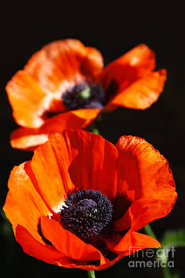 Art Print featuring the photograph Poppy Flower Pair by Lincoln Rogers