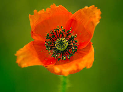 Photograph - Poppy Flower by Yvon van der Wijk