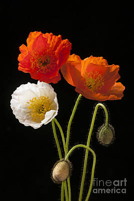 Food And Flowers Still Life Rights Managed Images - Poppy flowers on black Royalty-Free Image by Elena Elisseeva