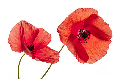 Photograph - Poppy Flowers On White by Elena Elisseeva