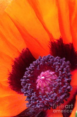 Photograph - Poppy by Gaby Tench