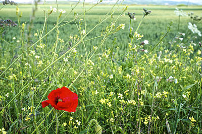 Photograph - Poppy Intrusion by Christopher Rees