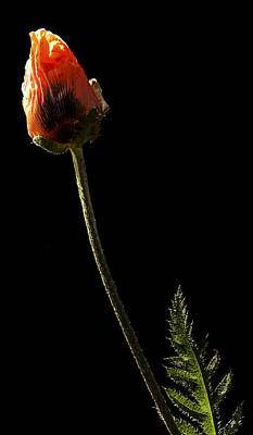 Photograph - Poppy by Jean Noren