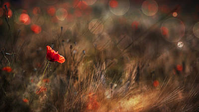 Field Flowers Photograph - Poppy by Nicodemo Quaglia