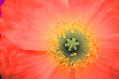 Photograph - Poppy Oh Poppy by Ronda Broatch