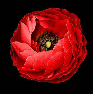 Photograph - Poppy On Black Background by David Rich