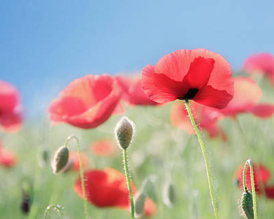 Big Red Photograph - Red Poppies by Amy Tyler