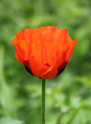 Flower Photograph - Poppy Power by Rosanne Jordan