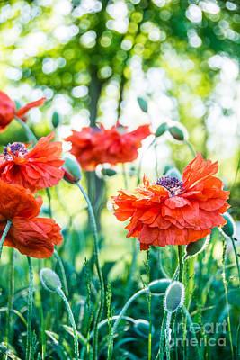 Photograph - Poppy Profiles by Cheryl Baxter