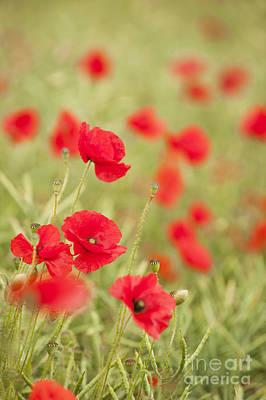 Poppy Red Art Print by Anne Gilbert