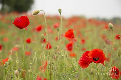 Ypres Photograph - Poppy Requiem  by Rob Hawkins