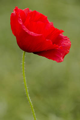 Photograph - Poppy by Ross G Strachan