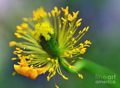 Yellow And Green Floral Photograph - Poppy Seed Capsule 2 by Kaye Menner