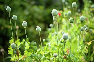 Seedhead Photograph - Poppy Seedheads by Maria Mosolova