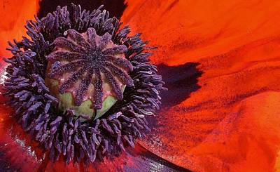 Photograph - Poppy Sensation by Bruce Bley