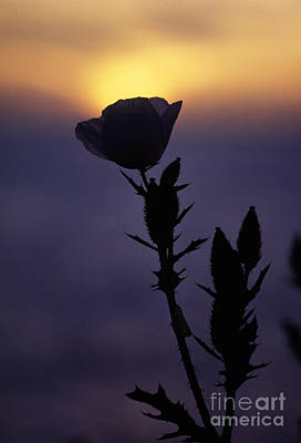 Photograph - Poppy Sunset Kauai by Craig Lovell