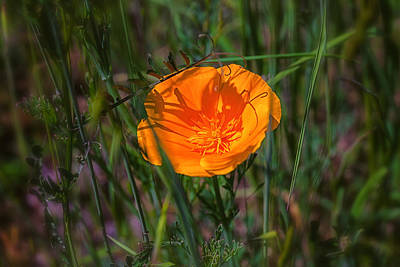 Photograph - Poppy by Thomas Hall