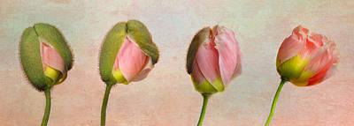 Photograph - Poppy Transformation by David and Carol Kelly
