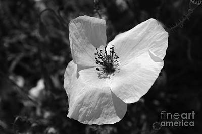 Photograph - Poppy White by Ioanna Papanikolaou