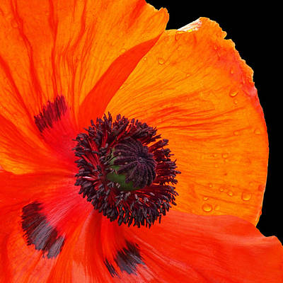 Photograph - Poppy With Raindrops 2 by Gill Billington