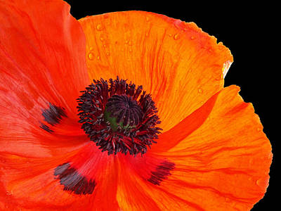 Photograph - Poppy With Raindrops 3 by Gill Billington