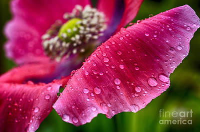 Impressionist Landscapes - Poppy with Raindrops by Thomas R Fletcher