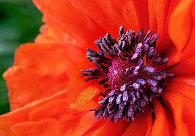 Poppy's Purple Passion Print by Bill Pevlor