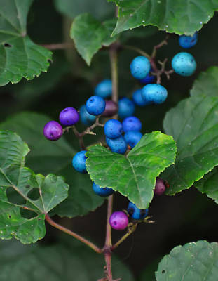 Featured Images Digital Art - Porcelain Berries On A Vine by Chris Flees