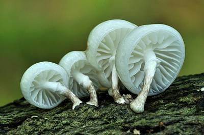 Toadstools Photograph - Porcelain Fungus by Colin Varndell