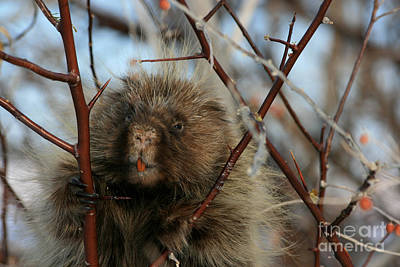 Porcupine And Berries Art Print by Marty Fancy