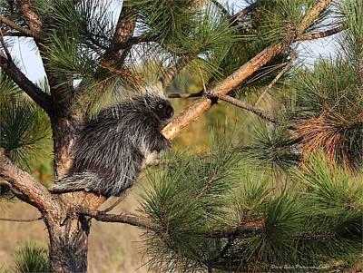 Photograph - Porcupine by Daniel Behm
