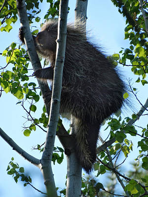 Spot Of Tea Royalty Free Images - Porcupine in a Tree Royalty-Free Image by David T Wilkinson