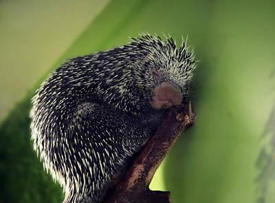 Porcupine Slumber Art Print by Melanie Lankford Photography