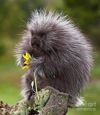 Porcupine With Arrowleaf Balsamroot Art Print by Jerry Fornarotto