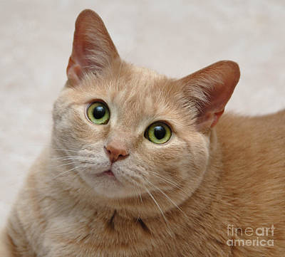 Whiskers Photograph - Portrait - Orange Tabby Cat by Amy Cicconi