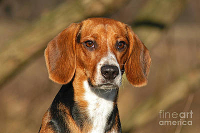 Photograph - Portrait Beagle Dog by Dog Photos