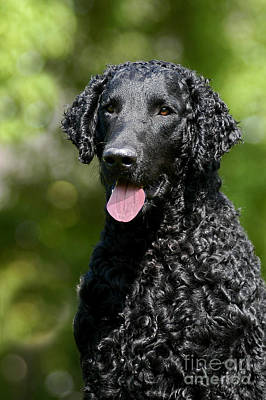 Photograph - Portrait Black Curly Coated Retriever Dog by Dog Photos