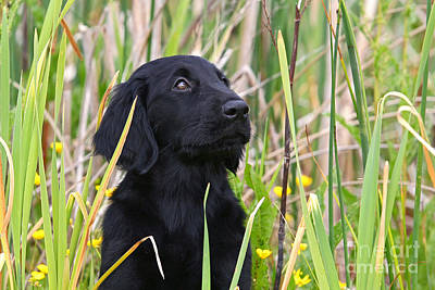 Photograph - Portrait Black Flat Coated Retriever Puppy In Reed by Dog Photos
