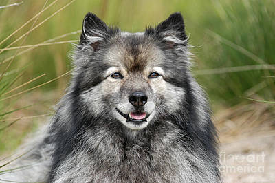 Photograph - Portrait Grey Keeshond Dog by Dog Photos